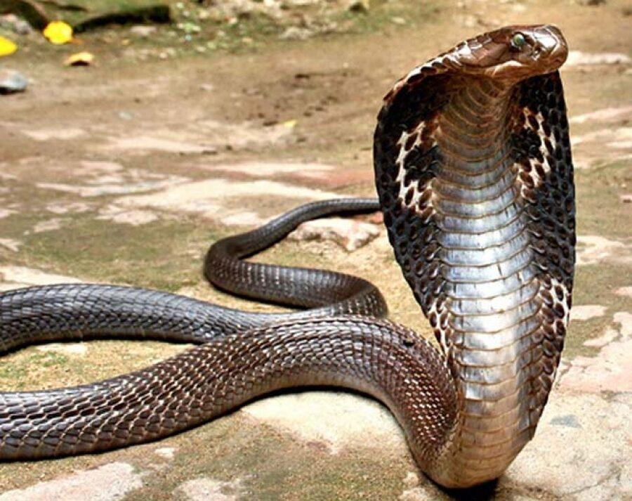 Очковая кобра