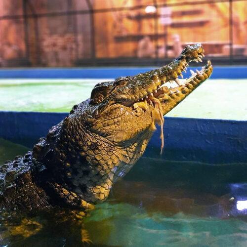 Крокодил Валера